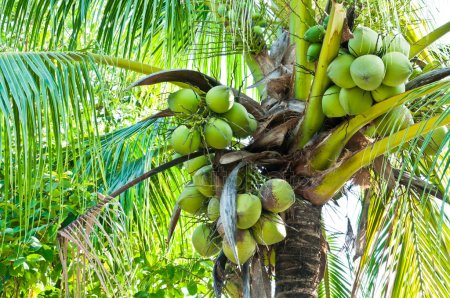nature facts, Land of coconuts