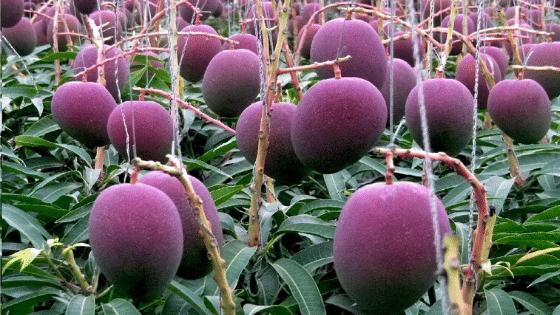 Taiyo no Tamago Mangoes