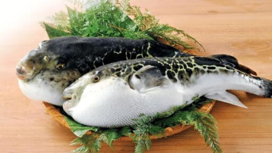 tiger puffer fish
